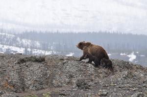 bears-1149459_1920