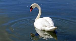 swan-335911_1920