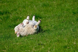 lamb-4136278_1920