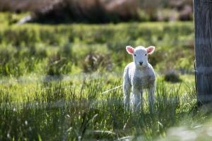 lamb-1081950_1920